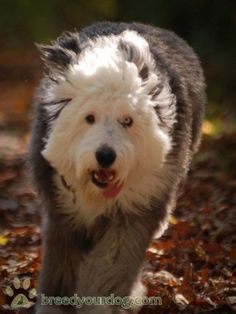 Old English Sheepdog Puppies Classifieds | Old English Sheepdog For Stud