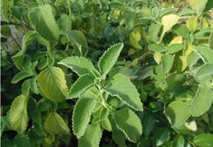plantas-medicinais-boldo