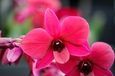 House plants: dendrobium orchids (Dendrobium 'Thailand Black') are known for their profuse flowering. Care is largely specific to variety. Photo by Jason Ingram. Find more orchids here http://www.gardenersworld.com/plants/search/name/orchid/