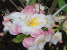 Laubabwerfende Azalee 'Satomi' - Rhododendron luteum 'Satomi'