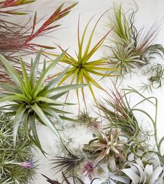Tillandsias come is a huge array of shapes and color. To learn more check out the new book AIR PLANTS. Available everywhere books are sold. Photo by Caitlin Atkinson.