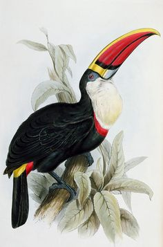Red-billed Toucan Painting by Edward Lear
