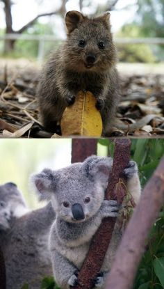 Australia - Quokka and Koala - Too much cuteness to have in one country! Cute Baby Animals, Animals And Pets, Funny Animals, Quokka, Australian Animals, Pet Birds, Animals Beautiful, Animal Pictures, Cute Babies