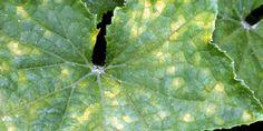 Чтобы не желтели листья у огурцов