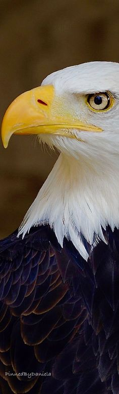 Bald Eagle Bird Guides, Eagle Wings, Big Bird, Birds Of Prey, Reptiles, Bird Feathers, Beautiful Creatures, Where Eagles Dare, Shop
