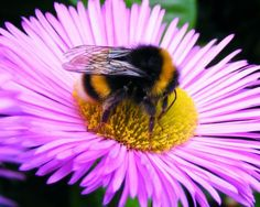 Bumblebee Right now, billions of bees are dying. Already, there are nowhere near enough honeybees in Europe to pollinate the crops, and in California -- the biggest food producer in the US -- beekeepers are losing 40% of their bees each year.