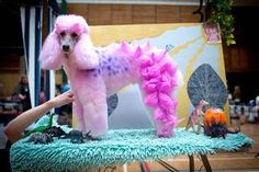 animaltracks.today.com cool extreme poodle grooming