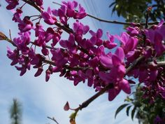 Cercis canadensis - Forest Pansy Tree in flower. Cultivar of the native redbud, an understory tree often seen in the Southern US. Otherwise known as Redbud or Judas Tree.