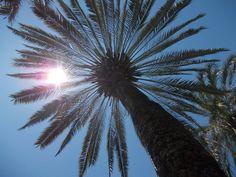 una palmera en Córdoba