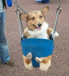 Corgi! eclecticness adorable<3 <3 <3