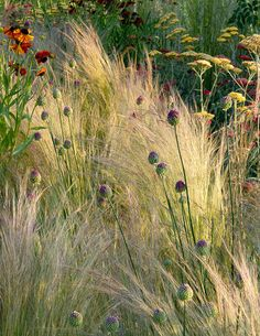 stipa tenuissima ( syn. Stipa tenuifolia ) - a smaller grass than molinia.  Goes nicely with sedums.