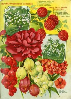 Browsers of the 1913 Farmer Seed & Nursery catalog must have lingered over this page inside the back cover. Ornamental flowering plants and deliciously sweet berries would tempt any gardener wanting a beautiful yard and fresh fruits for the table. Farmer Seed & Nursery originated in Faribault, MN in 1888. Andersen Horticultural Library hosts a collection of vintage Farmer Seed & Nursery catalogs.