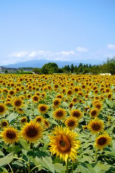 2012 Sunflowers