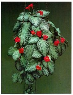 Flame Violet (Episcia Cupreata) - Why don't I have one of these?!