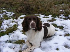 One of our male dogs in the snow .Derbyshire  winter 2012.