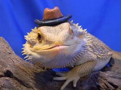 Funny bearded dragon with hat on its head Eastern Bearded Dragon, Bearded Dragon Funny, Bearded Dragon Diet, Funny Owls, Funny Animals, Cute Animals, Funny Animal Pictures, Cute Pictures, Animal Pics