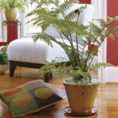 Australian tree fern needs regular watering. Protect hardwood floors by using an ample saucer.