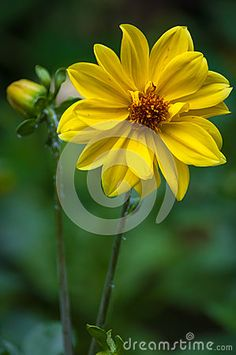 Photo about Yellow dahlia (dahlia variabilis) with bud in garden. Image of plant, colors, nature - 32367862 Flowers, Dahlia, Nature, Garden, Plants
