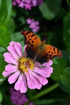 Question Mark Butterfly And Zinnia Flower (By Eva Kaufman)