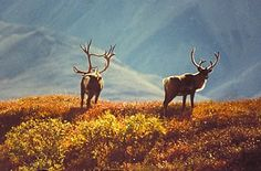 caribou, without mosquitos