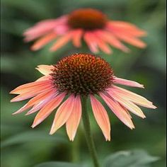 The Echinacea 'Summer Sky' is the first bicolor coneflower to be introduced. A member of the Big Sky™ series and one of the most popular varieties we offer. Plants produce large 5 inch flowers that are a beautiful shade of light orange with rose hues and highlights. Plants are tall, sturdy and prolific bloomers. In addition to the striking colors of Summer Sky the flowers have a heavenly scent that butterflies just adore. Very popular coneflower with our customers and tends to sale out early.