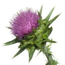 Milk Thistle seed / Silybum marianum This herb for treating liver, kidney, spleen, and gallbladder diseases. It also heals serpent bites and mushroom poisoning in-form-a-ti-on-eh Natural Medicine, Herbal Medicine, Natural Cures, Natural Healing, Milk Thistle Benefits, Liver Disease, Kidney Disease, Milk Thistle Extract, Make Dog Food