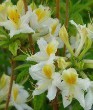 Puistoatsalea 'Illusia' (Rhododendron Knapp-Hill -Ryhmä x Exbury-Ryhmä)