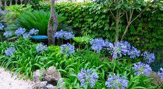 Agapanthus en un jardín, imprescindible :D