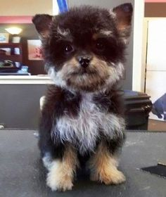 Yorkshire Terrier com Poodle=terrierpoo dog
