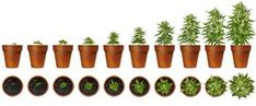 How to grow organic MJ. Marijuana plant stages