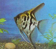 Angelfish-LEAPORD