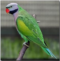Lord Derby's or Derbyan Parakeet - Indian state of Arunachal Pradesh & adjoining parts of Tibet