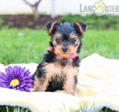 #YorkshireTerrier #Charming #PinterestPuppies #PuppiesOfPinterest #Puppy #Puppies #Pups #Pup #Funloving #Sweet #PuppyLove #Cute #Cuddly #Adorable #ForTheLoveOfADog #MansBestFriend #Animals #Dog #Pet #Pets #ChildrenFriendly #PuppyandChildren #ChildandPuppy #LancasterPuppies www.LancasterPuppies.com Lancaster Puppies, Yorkshire Terrier Puppies, Yorkie Puppy, Animals Dog, Puppies For Sale, Mans Best Friend, Puppy Love, Pets, Sweet