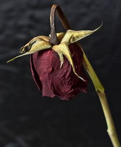 Dead Rose - for @Linda Bruinenberg Bruinenberg Kimble