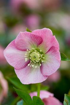Very pretty hellebore 'Harvington Pink' Beautiful Gardens, Beautiful Flowers, Lenten Rose, Christmas Rose, Hardy Plants, Pink Petals, Large Flowers, Winter Garden, Shade Garden
