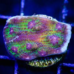 Check out the lighting you need to get your corals to grow and pop. Coral Frags, Sps Coral, Live Coral, Saltwater Aquarium Fish, Saltwater Tank, Reef Aquarium, Underwater Creatures, Underwater World, Reef Tanks