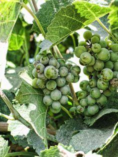 Posts about grapes written by Kerstenbeck Photographic Art Napa Restaurants, Wabi Sabi, Ikebana, Wine Country, Garden Design, Things To Do, California, Gardening, Fruit