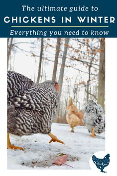 Have you heard? Winter is coming. It's time to prep your chickens for this brutal season. Our ultimate guide has you covered! Portable Chicken Coop, Best Chicken Coop, Building A Chicken Coop, Chicken Coops, Raising Backyard Chickens, Backyard Poultry, Keeping Chickens, Chickens In The Winter, Chicken Incubator