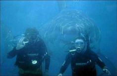 Большая белая акула позади дайверов Одна семья была на отдыхе в Австралии полторы недели, когда муж, жена и их 15-тилетний ребенок решили нырнуть с аквалангами. Когда они вернулись на лодку, мальчика всего трясло и он был страшно испуган. Вернувшись в гостиницу он загрузили фотографии и вот то, что они увидели:
