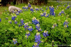 Texas Bluebonnets Are Here!! - R We There Yet Mom? | Family Travel for Texas and beyond...
