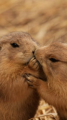 prairie dogs, couple, kiss, caring