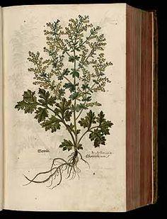 184417 Artemisia absinthium L. / Fuchs, L., New Kreüterbuch, t. 1 (1543)