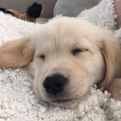 puppyfabs/2016/10/05 03:56:41/• 🐶Picture by© : @BeauTheGolden_
