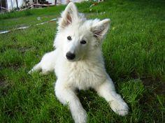 little Berger Blanc Suisse /Weisser Schweizer Schäferhund/ White Shepherd