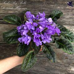 Senk's Big Bells (9849) 01/30/2008 (R. Follett/D. Senk) Single blue bell. Dark green, ovate, longifolia. Small standard (Western) #SenksBigBells #senksviolets #AVSA #africanviolet #indoorplant #houseplant #saintpaulia #senpolia #africanvioletlovers #fialka #africanvioletsocietyofamerica #flowers #bloom #fialki #flowerstagram #flowersofinstagram Outdoor Plants, Air Plants, Easy House Plants, Saintpaulia, African Violet, Carnivorous Plants, Natural Garden, Companion Planting, Flower Pictures