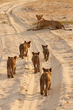 Cecil's Mate and Cubs by Ed Hetherington on 500px