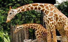 Guess who gets to see a Giraffe this weekend...ME :)