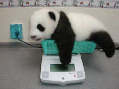 this panda is getting too big for his basket