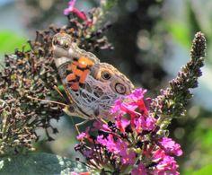 Painted Lady Butterfly on butterfly bush. Photo by Rachel Jensen.
