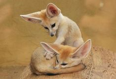 Fennec foxes... 'sokay, bro... I got your back.. get some sleep.